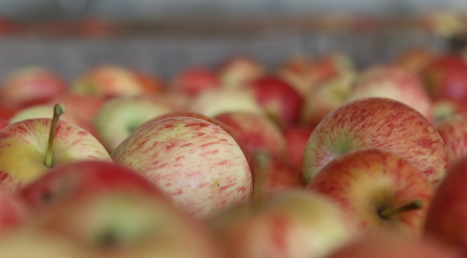 Fresh apples at Shannon Vineyards in Elgin Valley South Africa.