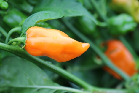 Bright orange home-grown Chilli at Danshi Rise in McLaren Vale Australia.