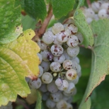 Pewsey Vale Riesling in the Eden Valley in Australia.