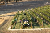 Harvesting at Grosset Gaia vineyard in Clare Valley Australia.