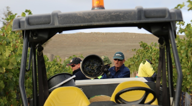 Workers at the Jeffrey Grosset Gaia vineyard in the Clare Valley Australia harvest cabernet sauvignon grapes.