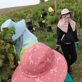 Workers harvesting at Grosset Gaia vineyard.
