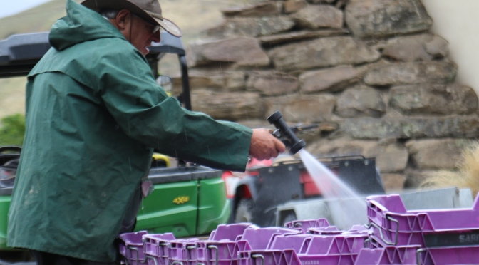 Cleaning purple crates at the Felton Road winery in New Zealand.
