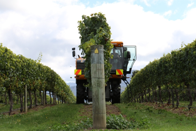 A large machine harvester vehicle collects grapes at the Saint Clair vineyards in Marlborough New Zealand.
