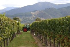 A Saint Clair tractor at the end of the vines during the vintage sixteen harvest.