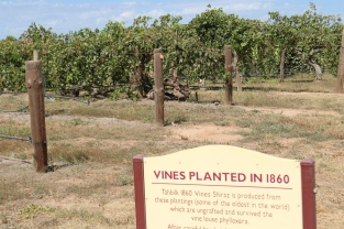 Shiraz vines planted in 1860 at Tahbilk Estate in Australia.