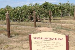 Shiraz vines planted in 1860 at Tahbilk Estate in Australia.