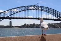 Seagull and Sydney Harbour Bridge.