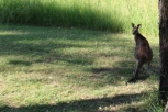 Kangaroo at Audrey Wilkinson Wines.