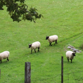 Sheep at Neudorf vineyards in New Zealand.