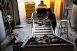 Sorting grapes at Neudorf winery in Nelson New Zealand.