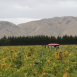 Escarpment vineyard at Martinborough in New Zealand.