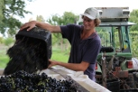 Emptying the grapes during the 2016 harvest at Millton Vineyards in Gisborne New Zealand.