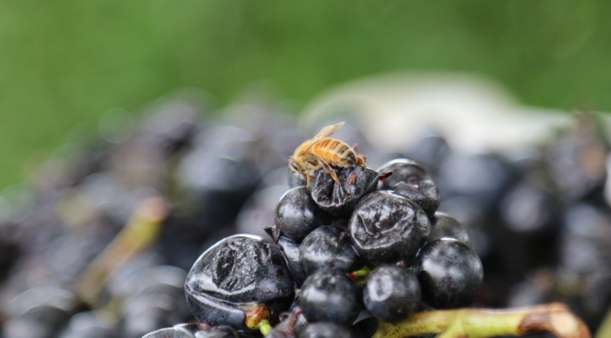 A wasp sitting on and enjoying the Malbec grapes at Millton Organic Vineyards in Gisborne New Zealand.