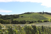 View of a Te Motu vineyard on Waiheke Island in New Zealand.