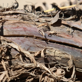 Dry old vines in the vineyard at Bodega Colome in the Salta region of Argentina.