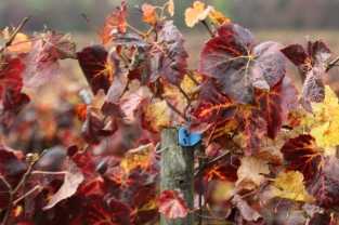 Vine leaves after harvesting at Kingston Family Vineyards in Chile.