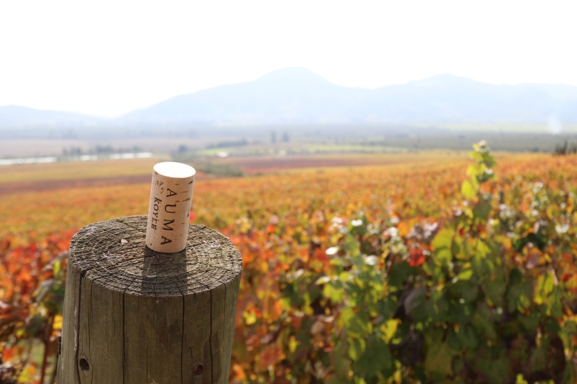 A Koyle wine cork in the Vina Koyle vineyard at Los Lingues in Alto Colchagua in Chile.