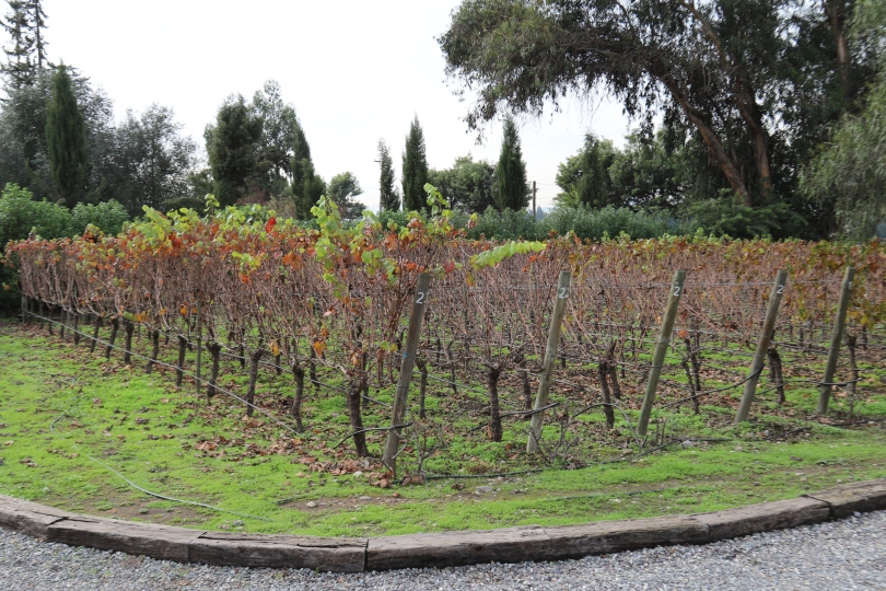 The garden vines at Caviahue Wines in Maipo Valley in Chile.