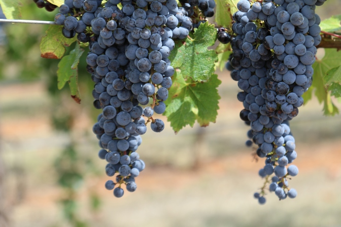 Cabernet Sauvignon grapes at Wynns Coonawarra Estate in Australia.